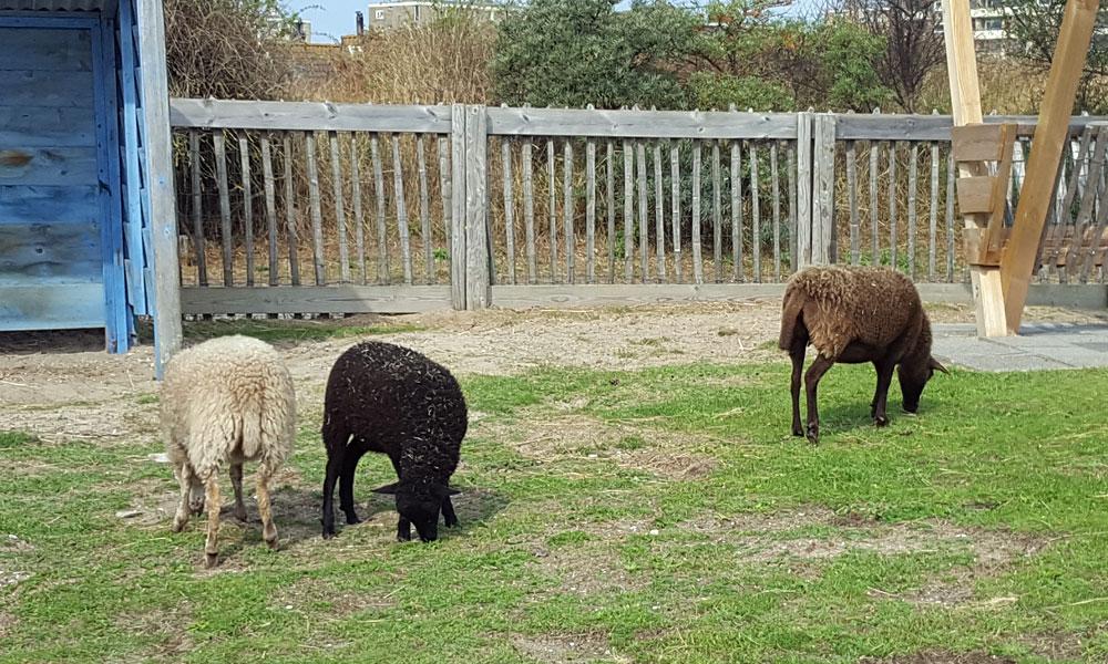 Drei Schafe im Streichelzoo im Centerpark Zandvoort