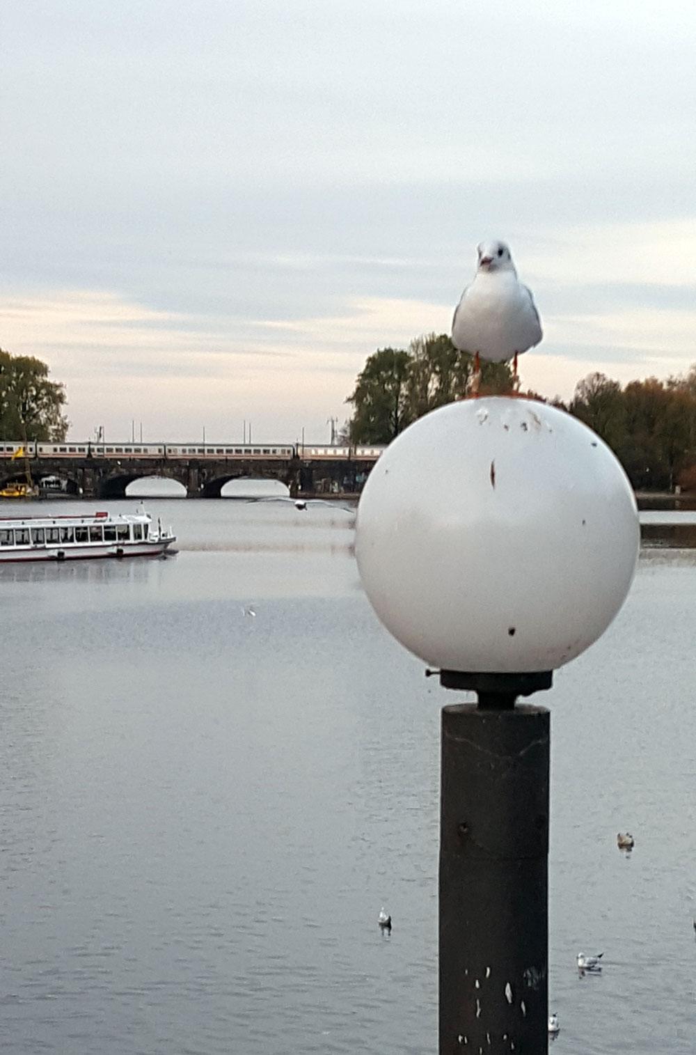 Hamburger Möwe an der Alster vor der Lombardsbrücke