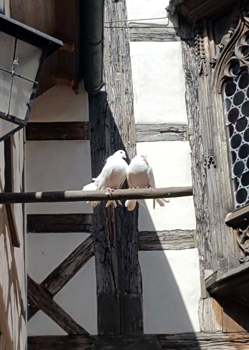 Weiße Turteltauben vor dem Taubenhaus