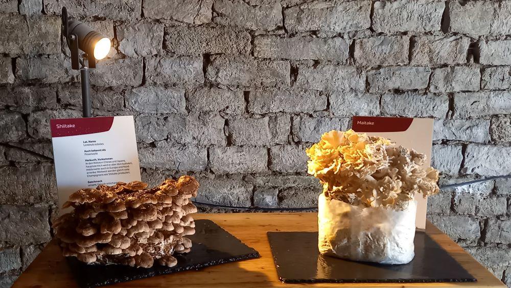 Shiitake Pilze auf der Pilzausstellung in einem Torbogen der Zitadelle Petersberg