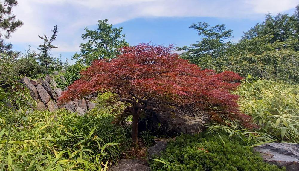 roter Baum im japanischen Garten im egapark