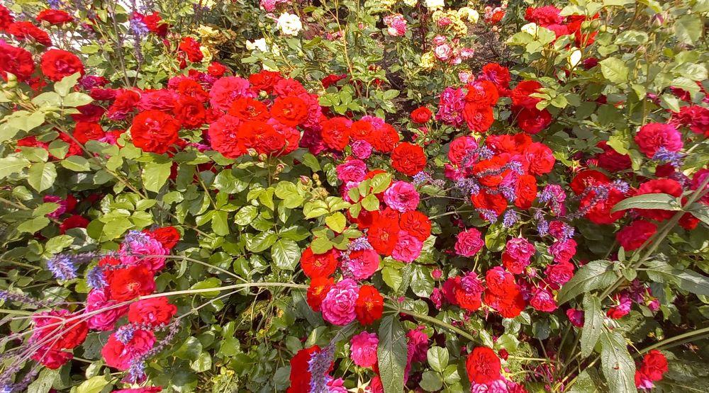 Rosenbusch im Rosengarten im egapark