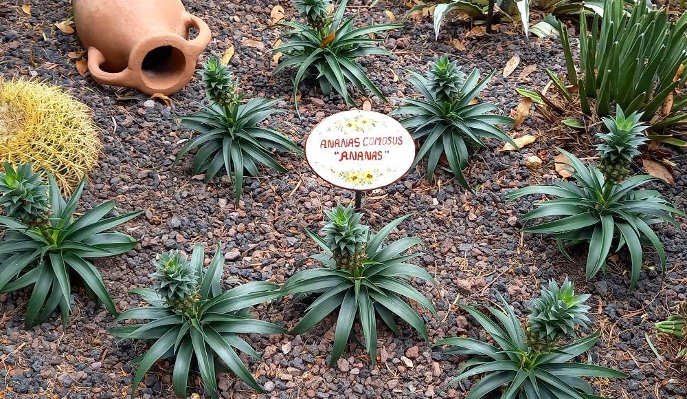 Beet mit Ananaspflanzen