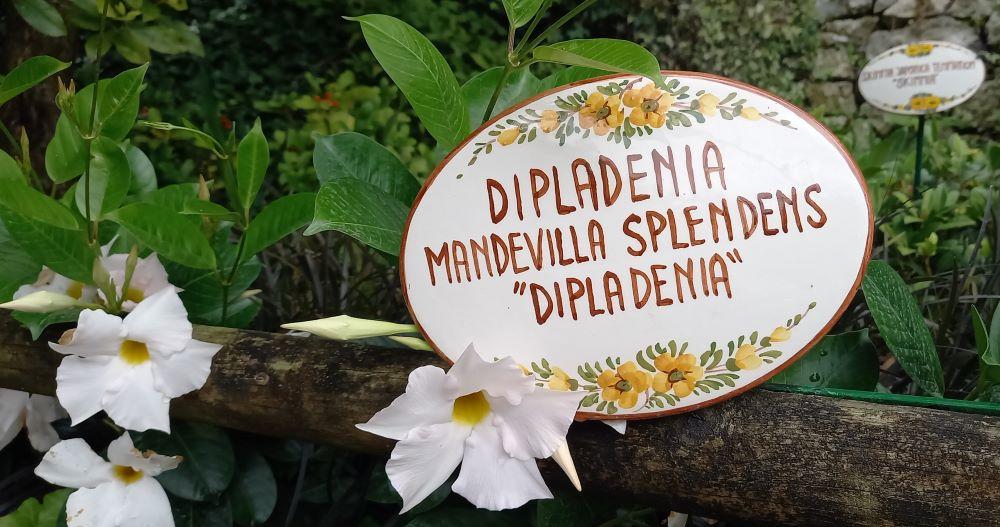 """Pflanzen in einem Beet mit Schild """"Dipladenia Mandilla Splendems"""""""